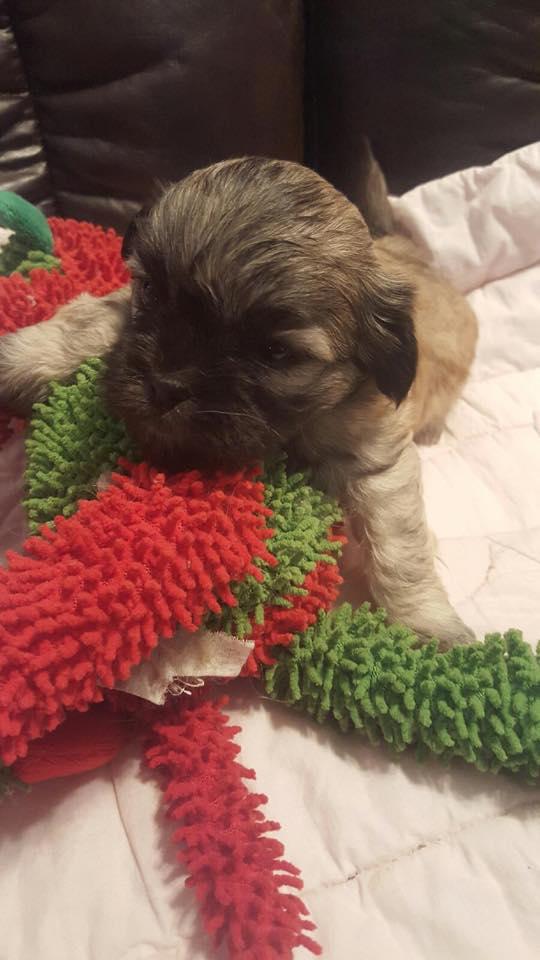 Havashu And Shih Tzu Puppies For Sale In California California