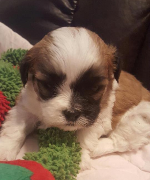 Shih Tzu Puppies California