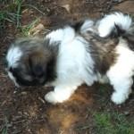 Bring Home a Shih Tzu Puppy