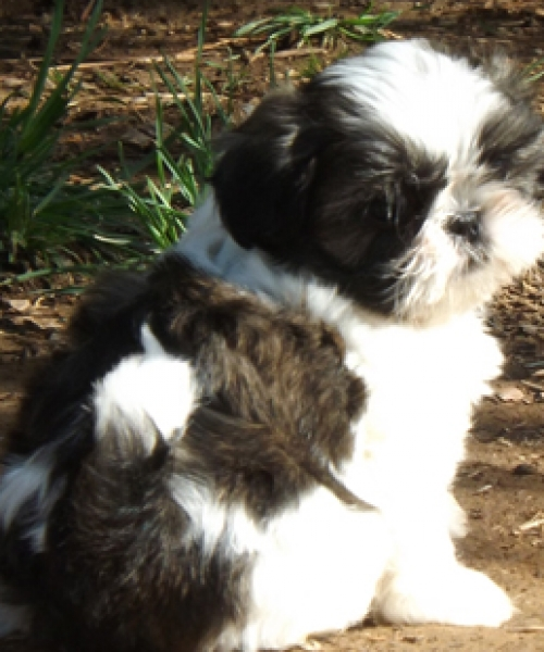 Havashu And Shih Tzu Puppies For Sale In California California