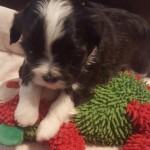 Havanese Shih Tzu Puppies